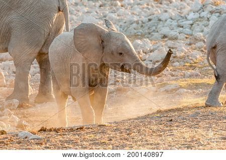 An African Elephant calf Loxodonta africana at sunset in Northern Namibia