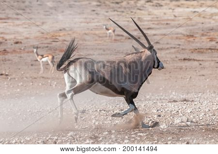 An oryx Oryx gazella also called a gemsbok running in Northern Namibia