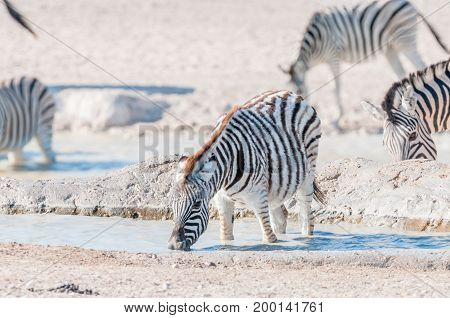 A Burchells Zebra foal (Equus quagga burchellii) drinking water in a waterhole in Northern Namibia