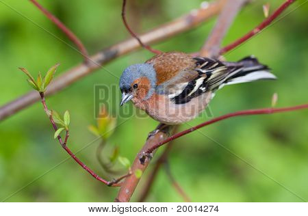 The Chaffinch In The Spring