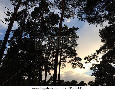 Blick durch einen Pinienwald in den bewölkten Abendhimmel.