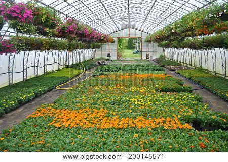 Potted Marigold Plants and Hanging Flower Baskets in a Green house