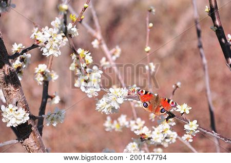 Peacock butterfly (Aglais io) flying among the white flowers of a tree