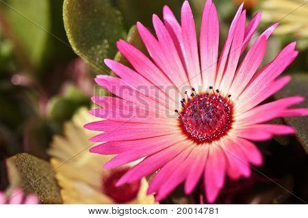 Single Beautiful Daisy Flower