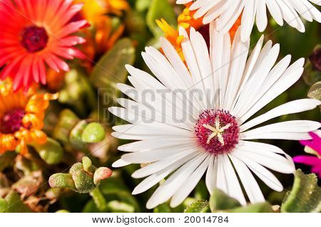 Close-up Of A White Daisy