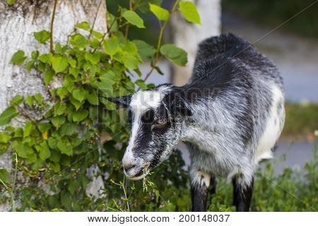 Funny  Goat On Green Meadow Is Chewing Grass