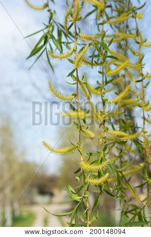 Authentic Gentle Background Of The Young Green Leaves Of A Blossoming Willow. Soft Selective Focus.