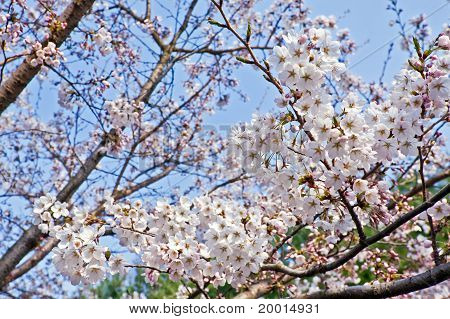 Branches Of Blooming Cherry