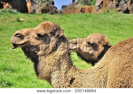 Animal instinct. Dromedaries taking care of each other