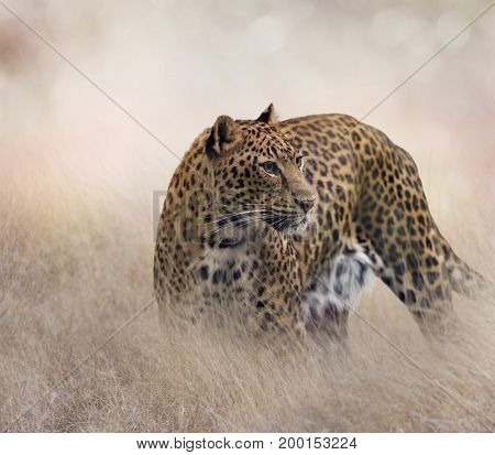 Leopard walking in the grassland