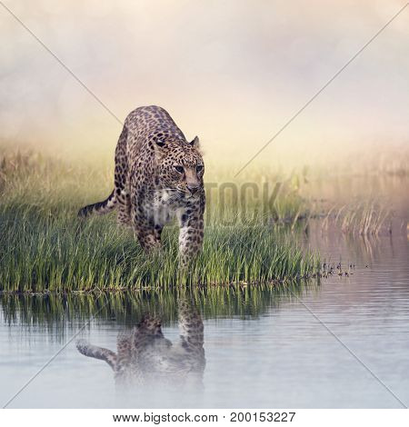 Leopard in the grass near pond