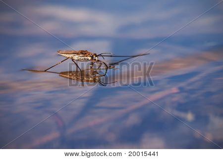 The Pond-skater