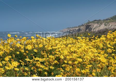 California Brittlebush Along California's Rugged Coast