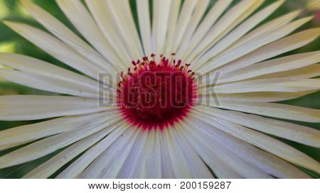 Beautiful white flower with a red core and petals