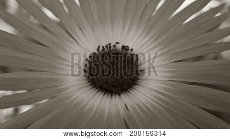 Beautiful flower with a core and petals. Black and white photography