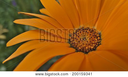 Beautiful orange flower with a yellow and black core