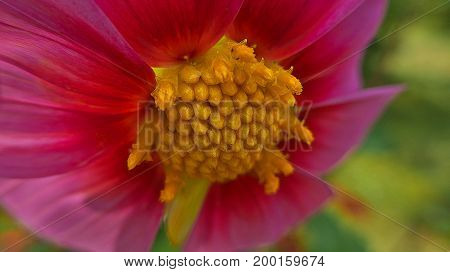 Beautiful pink flower with a yellow core. Macro photography.