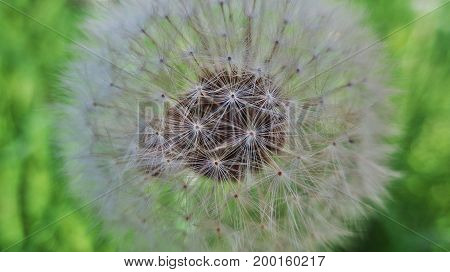 Dandelion with a full amount of seeds. Macro photography.