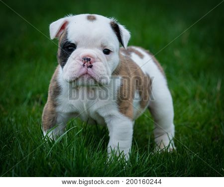 young bulldog puppy walking outside in the grass