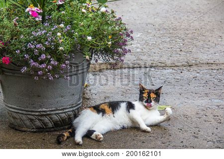 Calico cat lounging beside a big flower pot while grooming (tongue sticking out).