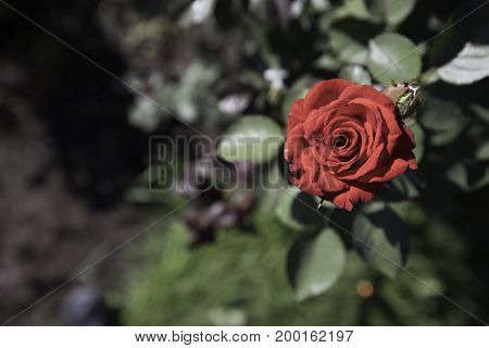 Single red rose in focus in a garden