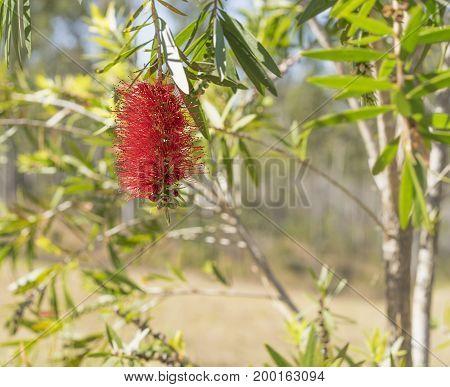 Australian wildflower red bottlebrush Callistemon flower bloom in spring