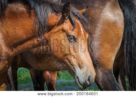 Portrait of a beautiful adult brown horse with black mane on the background of another brown horse on a summer day on the muzzle of the horse there are several flies. Close-up of a brown horse's face