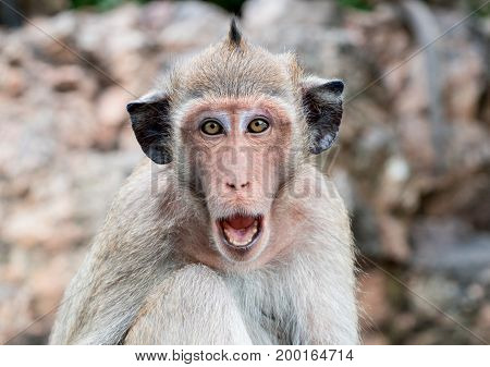 Monkey with black ears open mouth to threaten