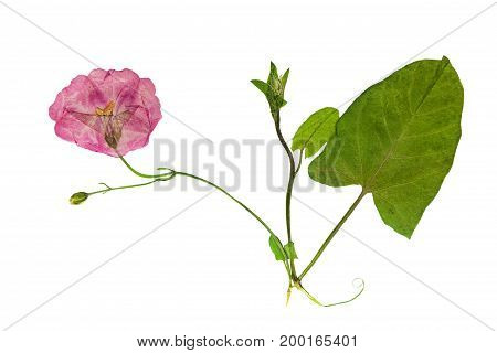 Pressed and dried delicate transparent flowers of bindweed. Isolated on white background. For use in scrapbooking floristry (oshibana) or herbarium.