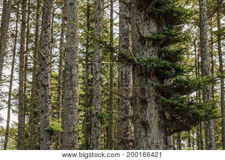 Gray Tree Trunks In A Forest With Green Branches And Fern.