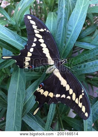 Arizona giant dark brown Swallowtail butterfly on top of succulent plant Close up