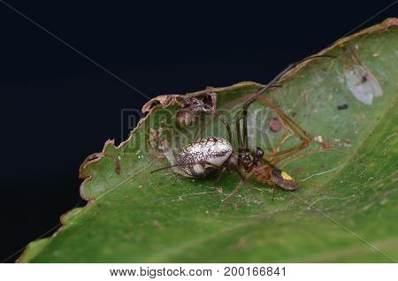 macro image of spiders mating on green leaf