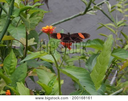 An exotic butterfly, of striking colors stands on a flower called latana camera