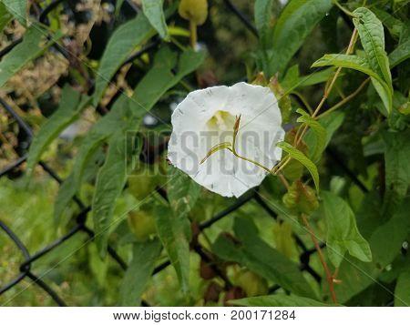 white flower on green vine plant along a fence