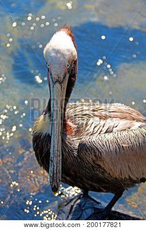 Pelican in Cabo San Lucas marina in Baja Mexico BCS