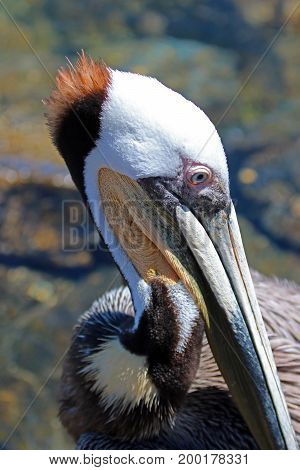 Close up of Pelican head in Cabo San Lucas marina in Baja Mexico BCS