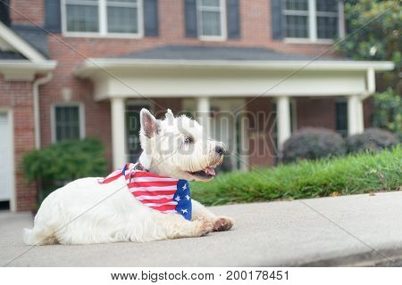 White west highland terrier dog in american flag scarf waiting on driveway of luxury house