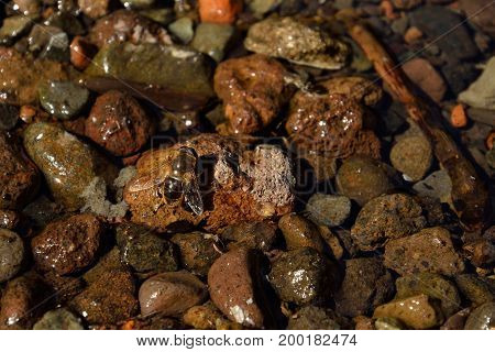 Bee on a water puddle with small stones