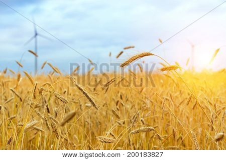 Harvesting ears of rye and wheat. Gathered crops on field of agricultural farm. Golden ears of grain crops. Klaipeda Lithuania Baltic