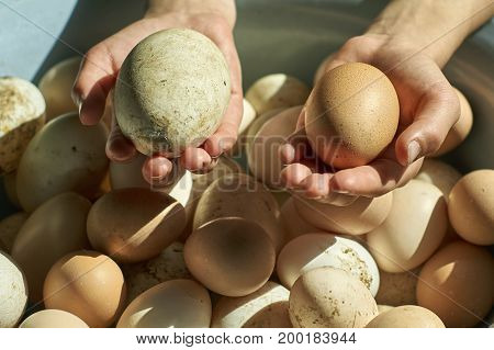 Girl's hands holding dirty freshly laid duck's eggs and hen's eggs