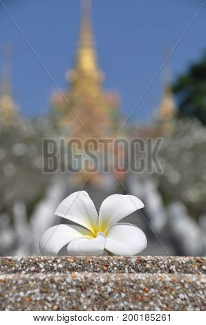 Flower frangipani or plumeria Thai temple in the background