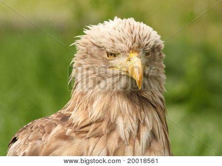 European white tailed eagle