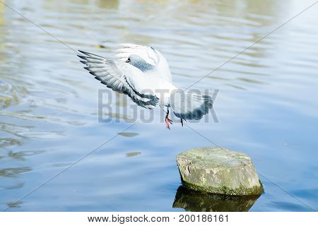 Pigeon is flying over the river in the park on a sunny afternoon