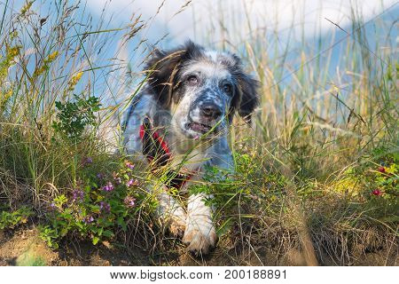 white and black fuzzy dog in green grass and high mountains at background, copy space