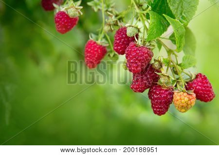 Raspberries in the summer garden. Raspberries on a branch close up.