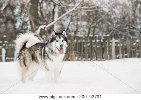 Alaskan Malamute Playing Outdoor In Snow, Winter Season. Playful Pets Outdoors.