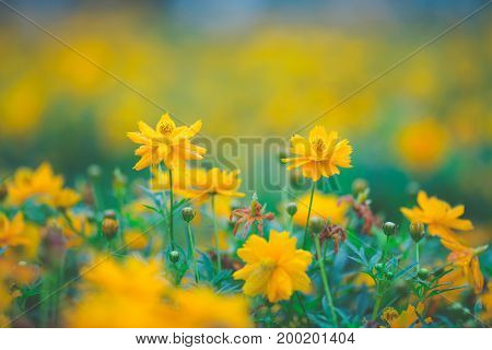 Yellow Cosmos Flowers In The Garden,soft Focus