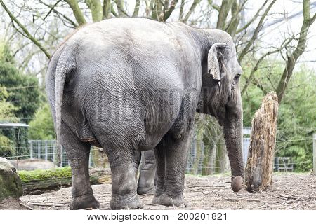 Indian elephant. Indian elephant in the zoo aviary.