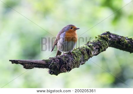 European Robin (Erithacus Rubecula) perched on Branch Newbury Berkshire UK