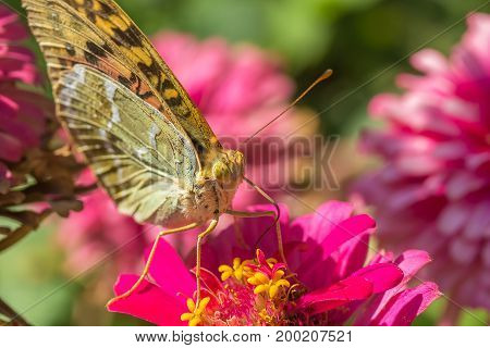 Beautiful Silver-washed fritillary(Argynnis anargyra) butterfly on a pink zinnia flower in a flower bed in the garden on a sunny autumn day macro. The background is blurred